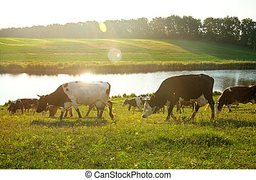 cows, река, пасти