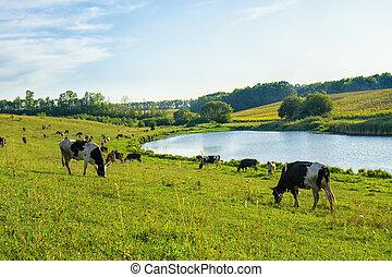 cows, река