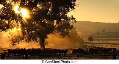 cows, утро