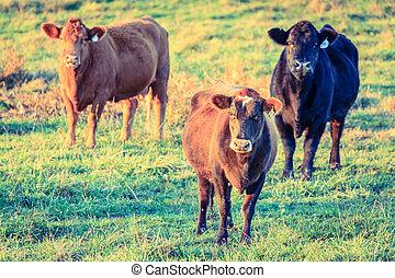 cows, ферма, кентукки