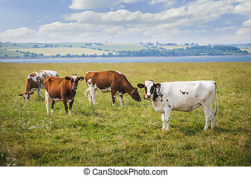 cows, ферма, поле