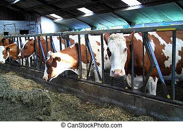 cows, ферма, animals