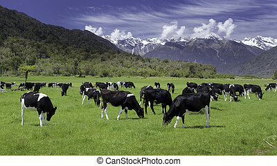 cows, friesian