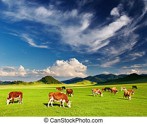 cows, grazing