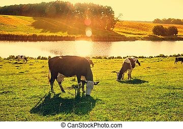 cows, rays, закат солнца, река