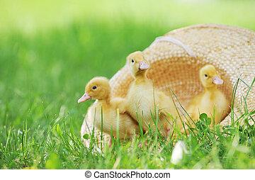 ducklings, пушистый