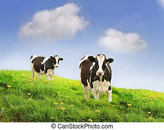 field., milking, cows, зеленый, friesan