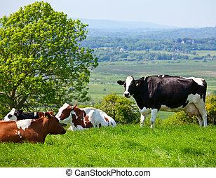 friesian, крупный рогатый скот
