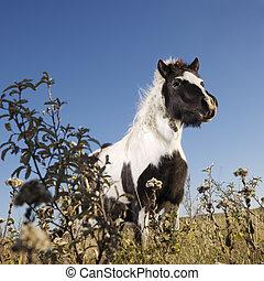 horse., falabella