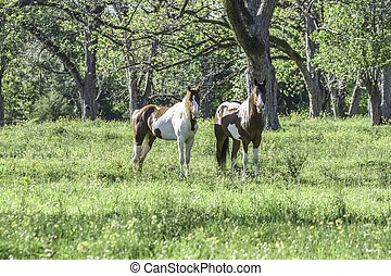 horses, два, весна, покрасить, выгон, алабама