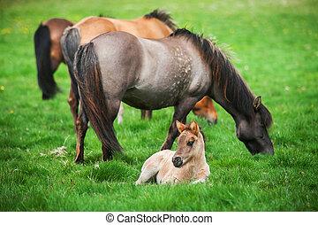 horses, клевок, исландский, зеленый, луг