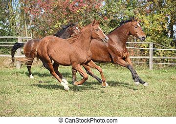 horses, коричневый, бег, пастьба
