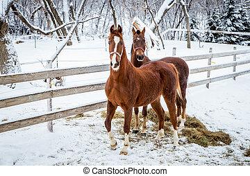 horses, свежий, два, snow.