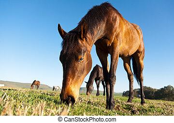 horses, grazing