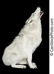 howling, волк
