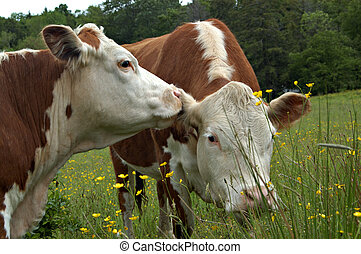 ii, слухи, корова