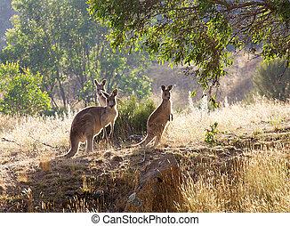 kangaroos, восход