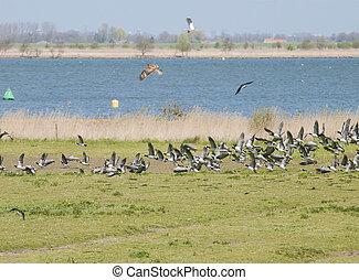lapwings, борьба, пустельга, птица, воздух