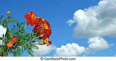marigold., синий, небо, белый, clouds., цветы, против