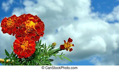 marigolds., гроздь, синий, небо, белый, clouds., цветы, против