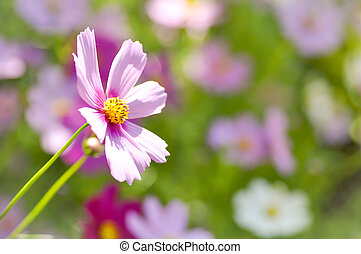 maxican, цветок, астра