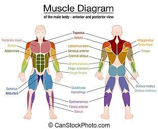 names, тело, мужской, мышца, диаграмма