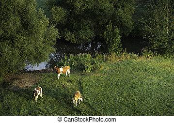 pasture., восход, grazing, ферма, cows, крупный рогатый скот, зеленый, немецкий