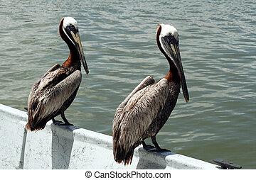 pelicans, лодка