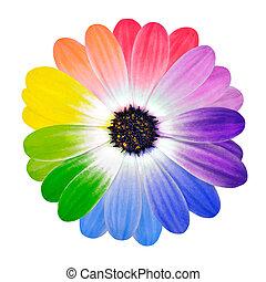 petals, цветок, isolated, красочный, маргаритка