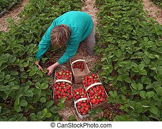 picking, клубника