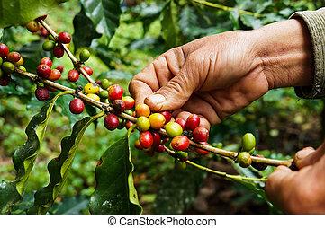 picking, кофе