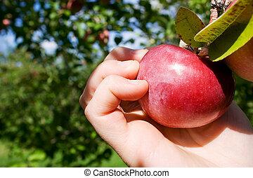 picking, яблоко