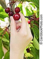 picking, cherries, рука