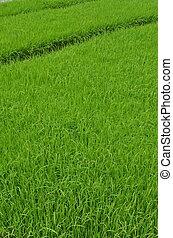 plants, реальный, indonesia., fields., картина, это, ява, переехать, насаждение, zone., являющийся, seeds, зеленый, запад, взятый, рис, до
