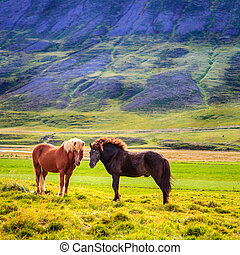 ponies, исландский