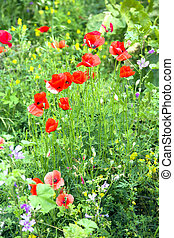 poppies, красный, blooming