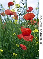 poppys, луг