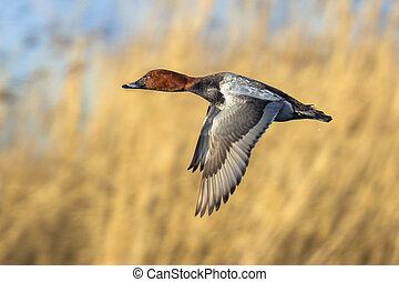 porchard, летающий, общий