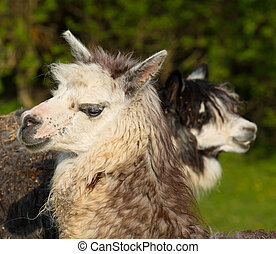 profile, alpacas, напротив, смотреть, два