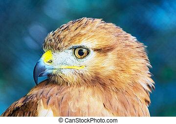 red-tailed, ястреб