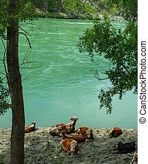 river., пляж, отдыха, cows