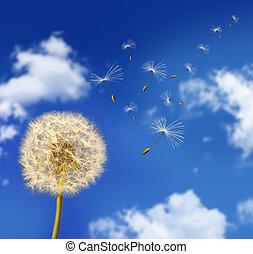 seeds, blowing, ветер, одуванчик