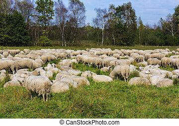 sheep., поле, grazes, зеленый, пасти, овца