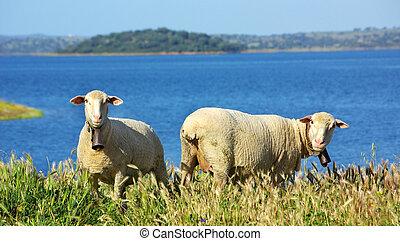 sheeps, выгон, португалия, клевок