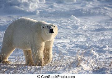 sniffing, полярный, медведь, воздух