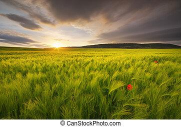 sundown., луг, пшеница