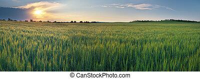 sunrise., утро, луг, пшеница