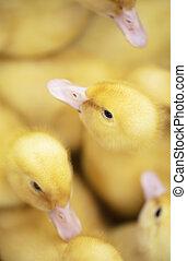 top., ducklings, многие, пушистый, желтый, там