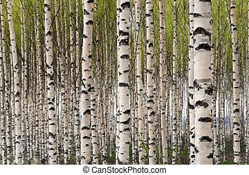 trees, береза