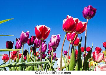 tulips, небо, красный, синий, против